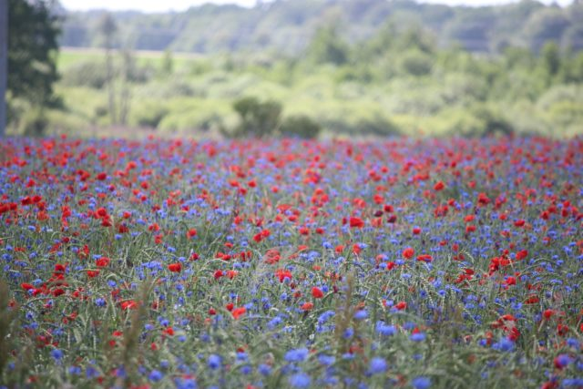 field-of-poppies-2748250